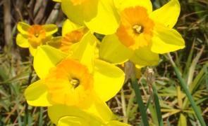 Daffodils in Russian