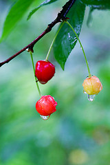 Summer in Russia - cherry